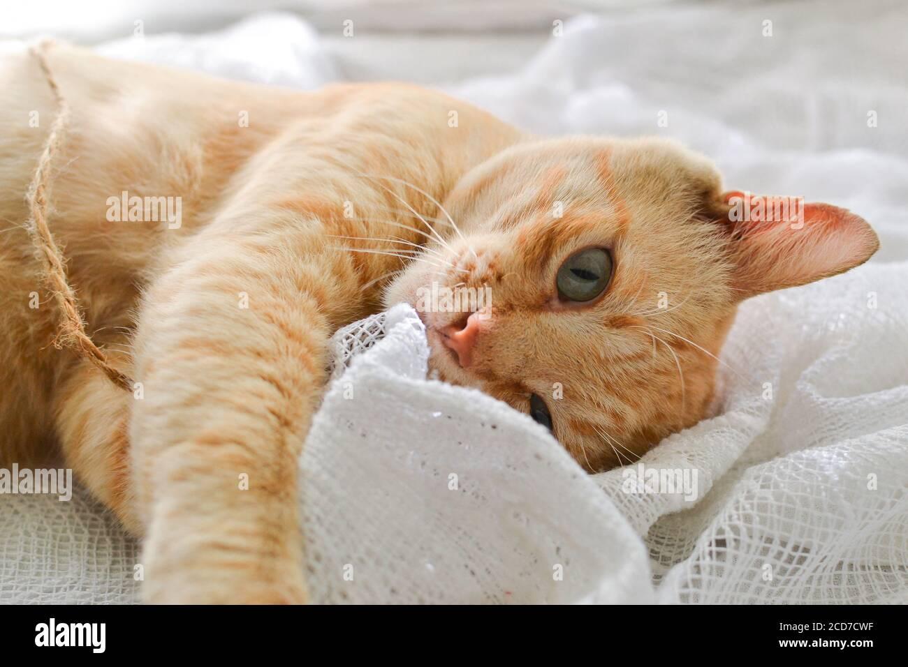 Gato rojo claro en una manta blanca, luz de la ventana. Un lindo gato de jengibre se encuentra bajo una manta blanca en el alféizar de la ventana, en la cama. Foto de stock
