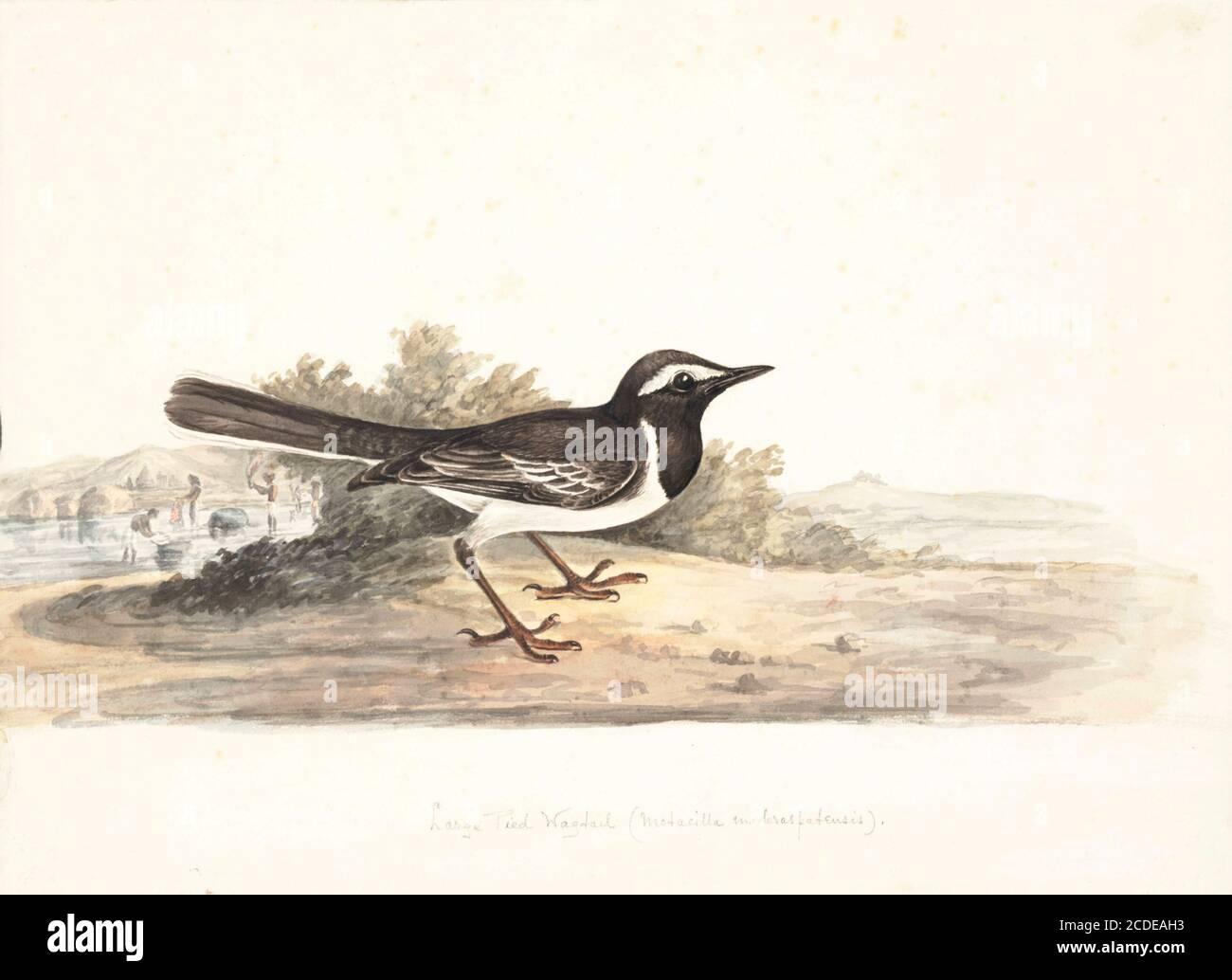 El wagtail de color blanco o el wagtail de ancho (Motacilla maderaspatensis) es un ave de tamaño medio y es el miembro más grande de la familia de los wagtail. Están visiblemente estampados con negro por encima y blanco por debajo, una prominente frente blanco, banda de hombro y plumas de la cola exterior. Los vagones de cejas blancas son nativos del sur de Asia, comunes cerca de pequeñas masas de agua y se han adaptado a entornos urbanos donde a menudo anidan en tejados. El nombre específico se deriva de la ciudad India de Madras (ahora Chennai). Pintura acuarela del siglo XVIII por Elizabeth Gwillim. Lady Elizabeth Symonds Gwillim (21 AP Foto de stock