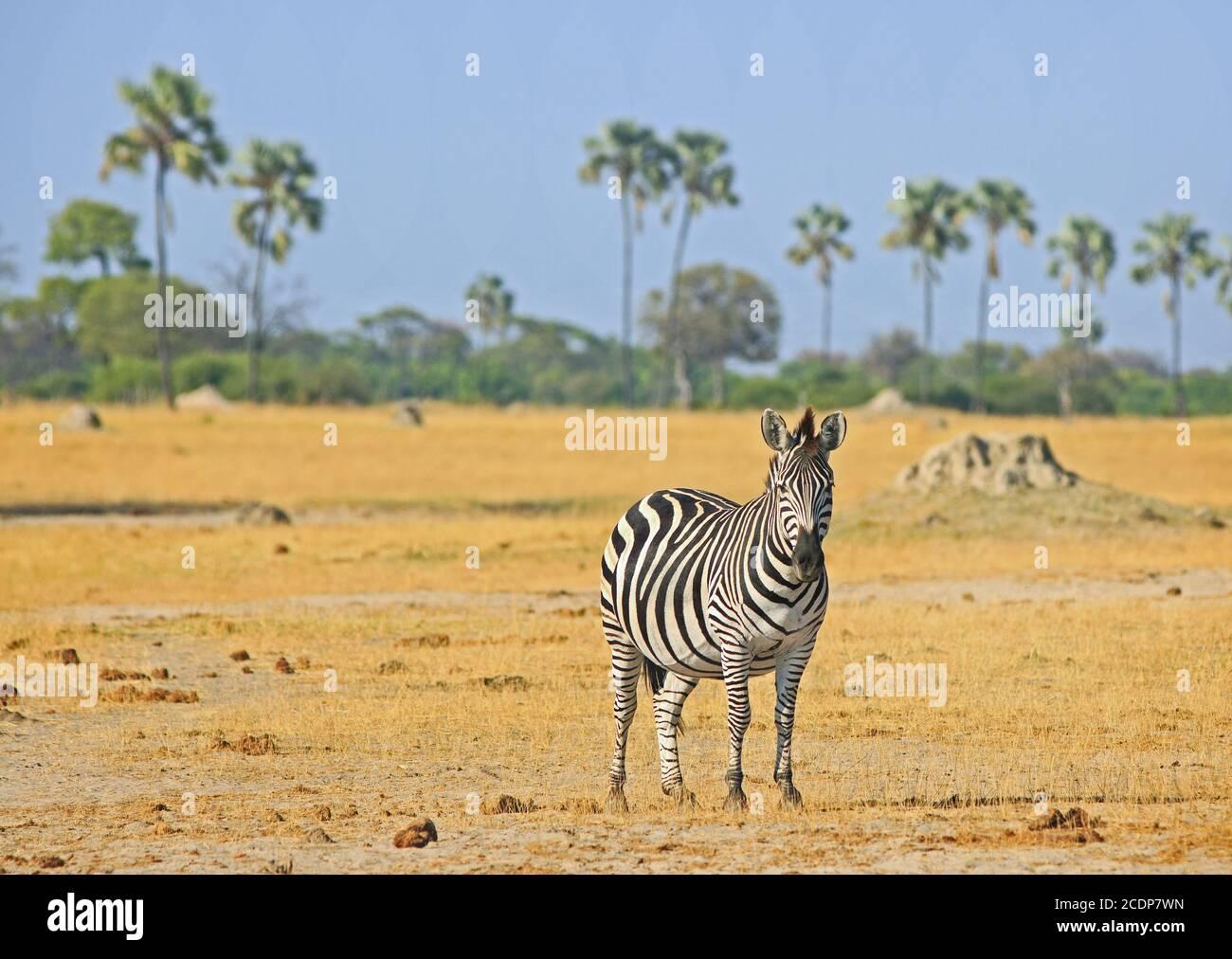 Solitaria Burchell Zebra de pie en las vastas llanuras vacías con un fondo arbolado en el Parque Nacional de Hwange, Zimbabwe Foto de stock