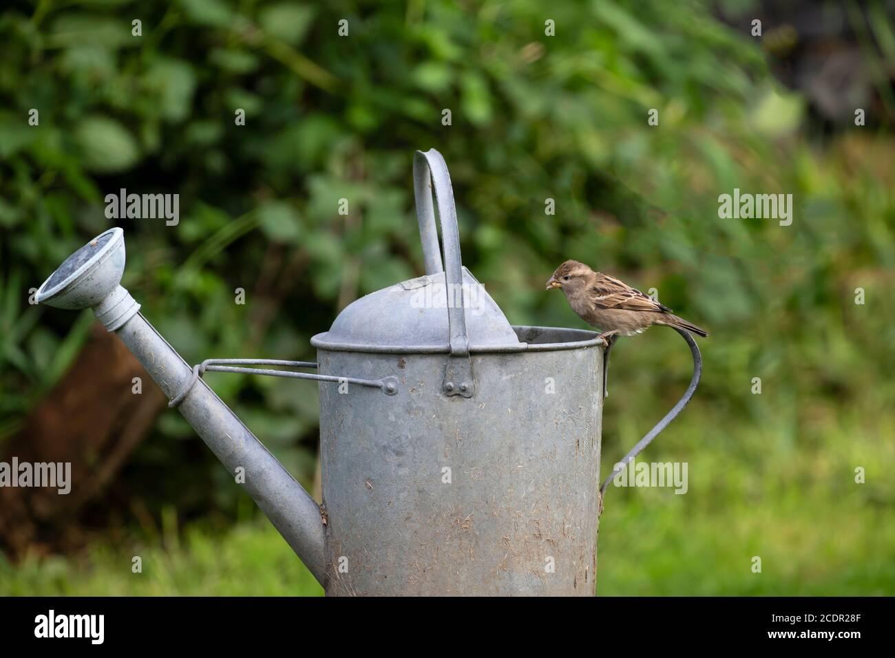 El joven House Sparrow Passer domesticus persiguiendo en el borde de una vieja regadera galvanizada en un jardín doméstico Foto de stock
