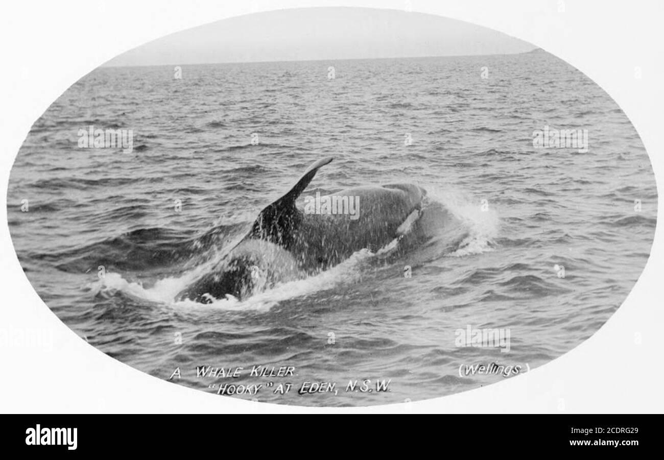 Ballena asesina conocida como Hooky de la forma de su aleta, Bahía doble. Foto de stock