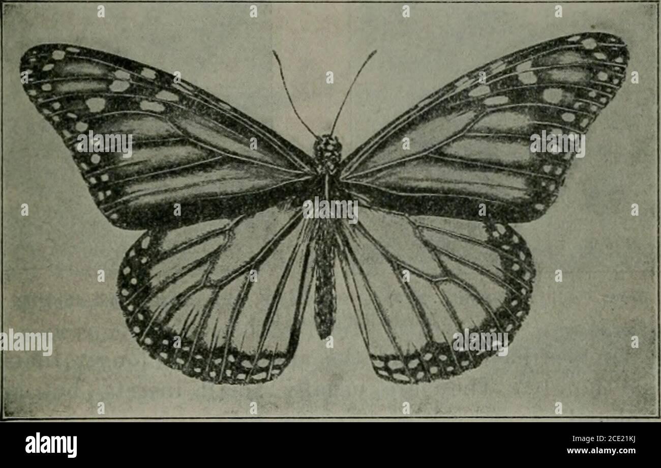 . Apéndice a las Revistas del Senado y la Asamblea de la Asamblea de la Asamblea Legislativa del Estado de California . atractivo. Las mariposas están separadas en cinco familias, representantes de todas las cuales se encuentran en California. Estos son: 1. Nymphalidse, las mariposas con patas de pincel. 2. Lemoniida-. Las marcas de metal. Lycaenidse, The Blues, Coppers, y Hair-streaks. 4. Papilionidse, las colas de las golondrinas, etc. 5. Hesperiicbc. Los Skippers. La familia Nymphalidse se distingue de todas las otras mariposas por el hecho de que en ambos sexos el primer par de piernas o protorácicas es bolvenhared Foto de stock