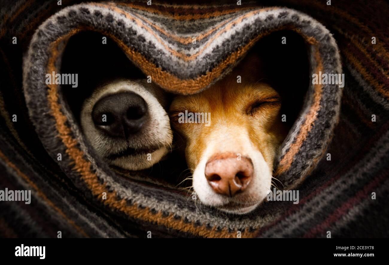 perros bajo manta juntos Foto de stock
