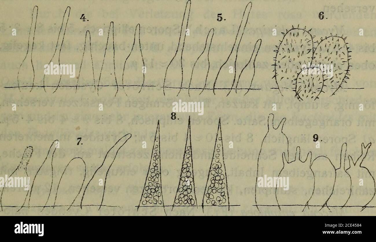 . Sitzungsberichte . fl / /w tä/l V-4s#~ -4-4 T. Fig. 1. Micena-Cystiden. Mycena subalpina. 2. M. erubescens. 3. M. olida. 4. AF. Lasiosperma.5. M. paupercula. M. cürinomavginata. M. cinerella. 8. M. parabolica. AF. Zephira.Gezeichnet vom Assistenten Josef Weese en Viena. Gräsern, ist daher ein Grasschmarotzer. Leider Hat Herpell(Hedwigia, 1912, 52. Bd., pág. 369) nur eine unvollständige be-schreibung des Pilzes gegeben. Im Wienerwalde kommt auf morschem Laube noch einezweite form vor welche wahrscheinlich die echte M. citrino-marginata Gill. Ist: A) Sporen länglich, unten spitz, 8 Foto de stock