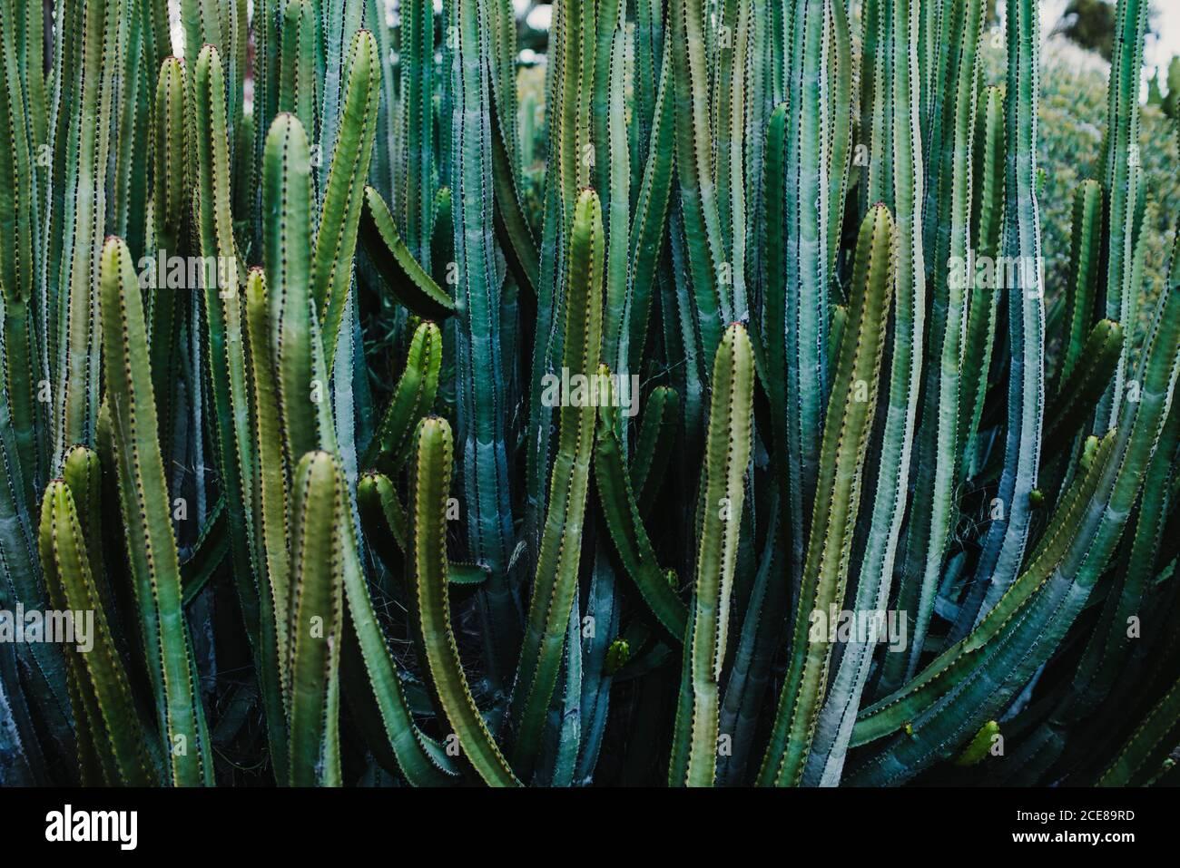 Desde arriba de las plantas naturales exóticas de Pachycereus schottii cactus creciendo en invernadero Foto de stock