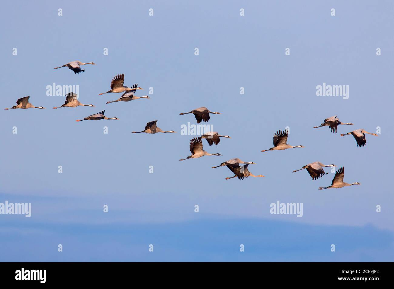 Rebaño migratorio de grúas comunes / grúa euroasiática (Grus grus) volando contra el cielo azul durante la migración en otoño Foto de stock