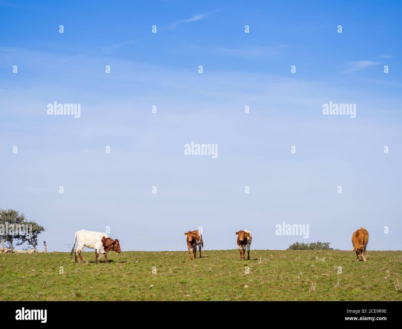 Una manada de vacas de raza Berrenda en colorado pastando en el prado de Salamanca (España). Extensión ecológica Foto de stock