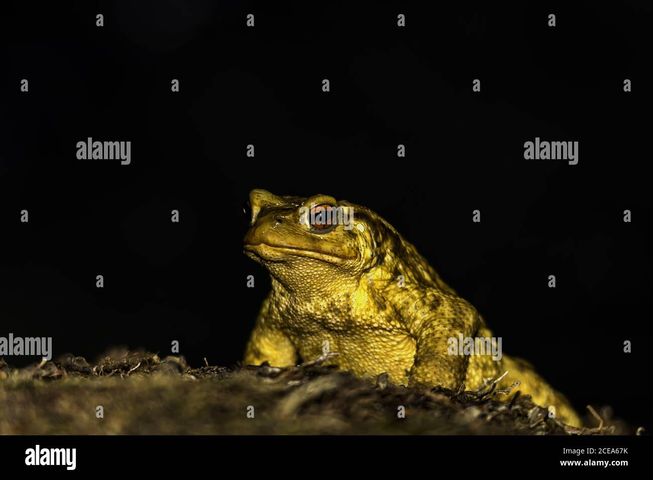 Primer plano de sapo amarillo con ojo rojo abultado aislado sobre un fondo oscuro Foto de stock