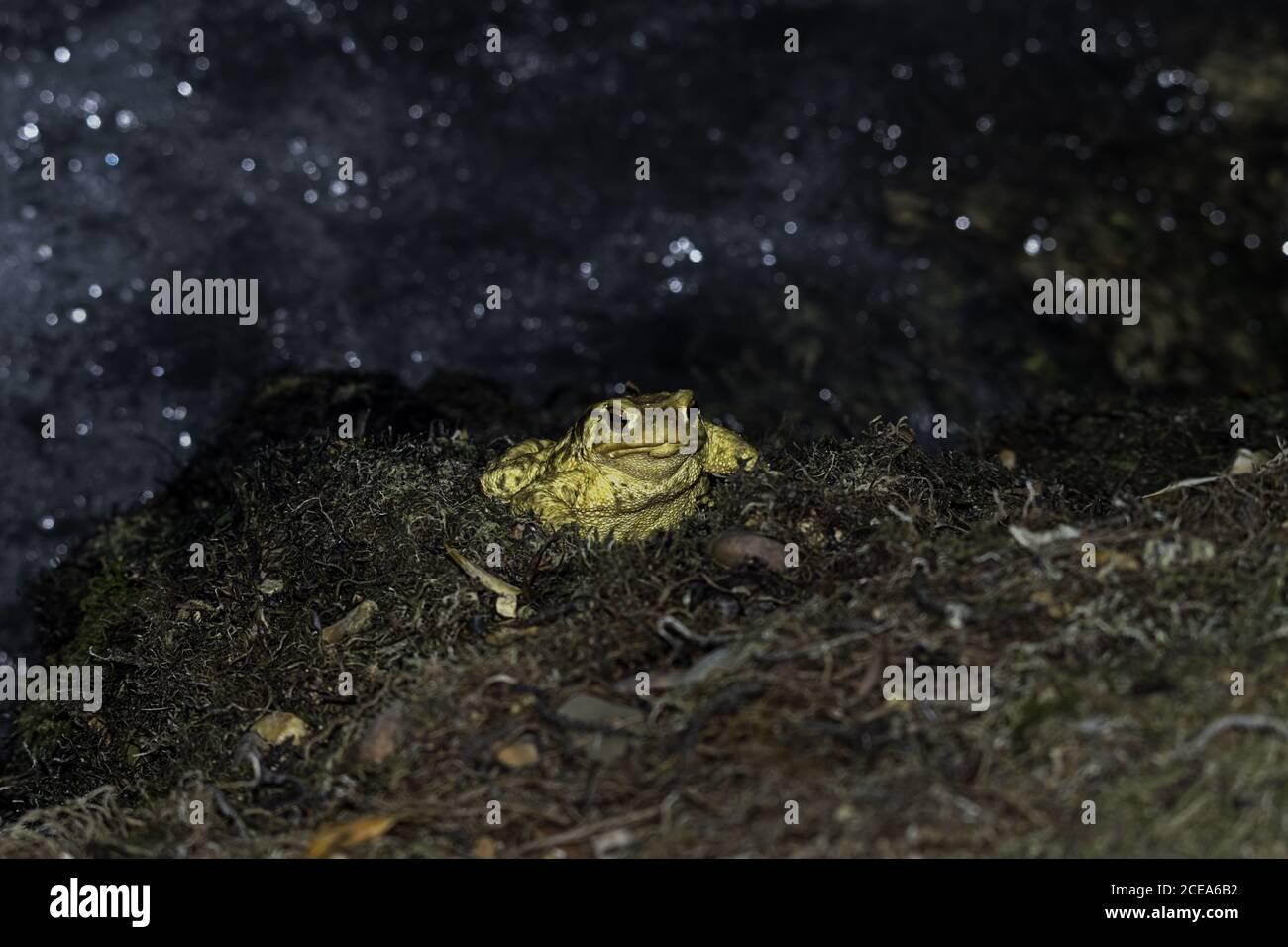 Primer plano de un sapo amarillo con ojos rojos abultados sobre un fondo borroso Foto de stock