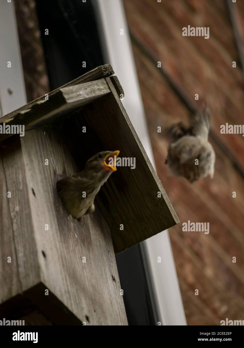 Casa Sparrow alimentar a los bebes Foto de stock