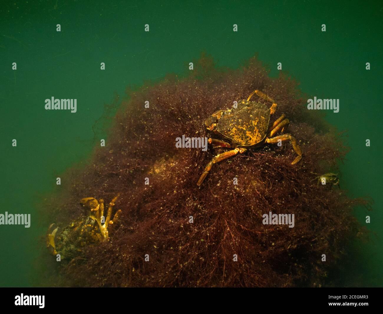 Una imagen bajo el agua de primer plano de dos cangrejos sobre una piedra cubierta de algas marinas. Foto de Oresund, Malmo en el sur de Suecia. Foto de stock