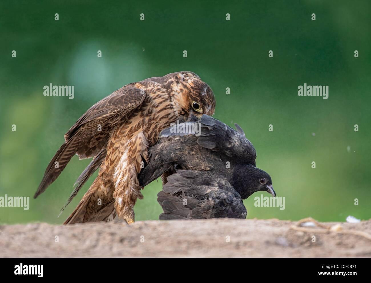 Cometa, shikra, halcón, águila, águila, águila, águila, kestrel y otras aves de presa en Pakistán Foto de stock