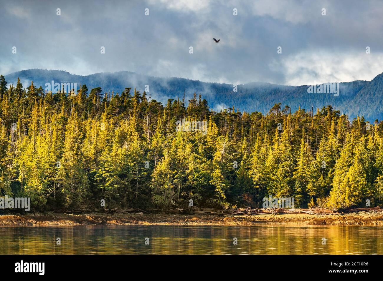 Alaska bosque vida salvaje aves naturaleza paisaje costa fondo con águila calva volando sobre la costa de los pinos en Ketchikan, Estados Unidos. Destino del crucero Foto de stock