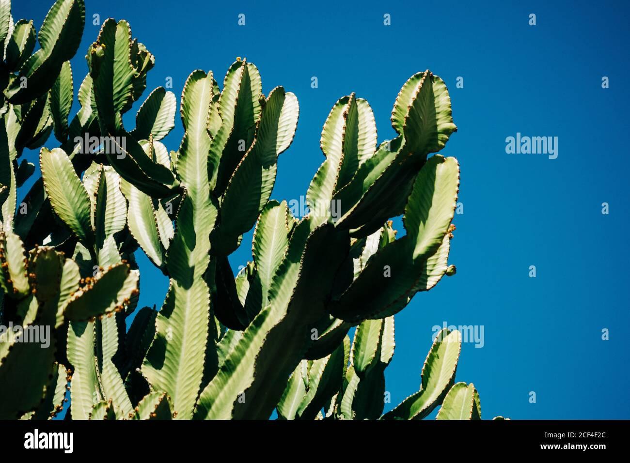 Cactus de primer plano con tallos verdes altos creciendo en la naturaleza contra un cielo azul claro en un día soleado Foto de stock