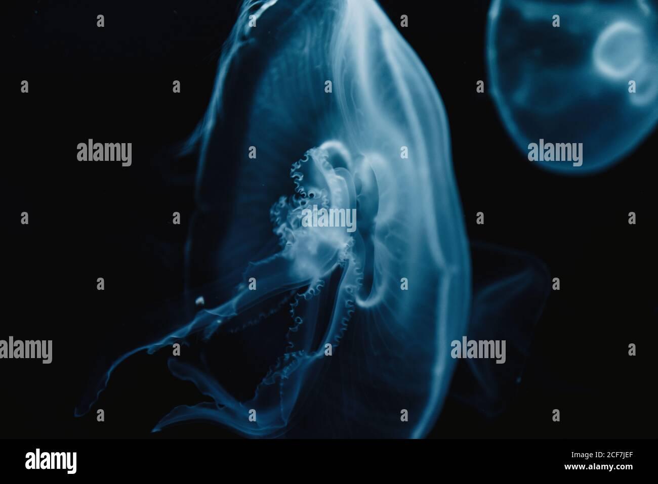 Tranquila medusa azul transparente bajo el agua turquesa del mar sobre borrosa antecedentes Foto de stock