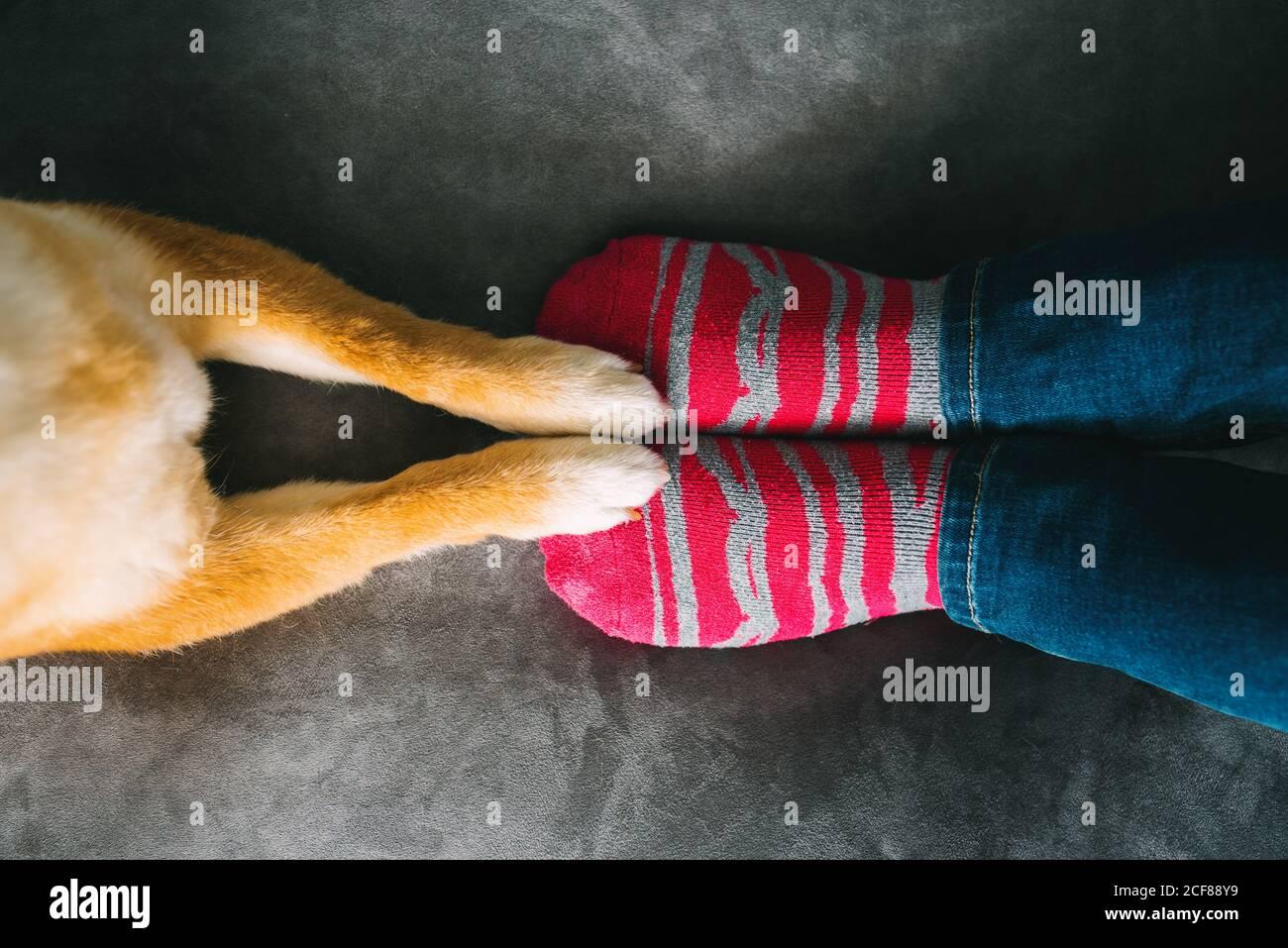De arriba de la mujer irreconocible dueño de perro en jeans y.. Calcetines de rayas sentados en un cómodo sofá de felpa y una linda Shiba Perro Inu de pie con patas delanteras en el sofá Foto de stock
