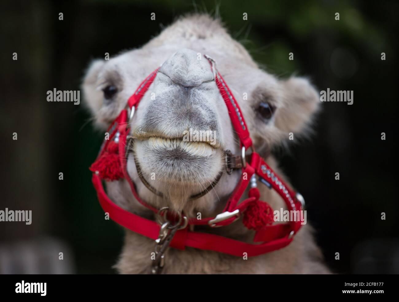 Primer retrato de camello lindo con arnés rojo mirando tu cámara Foto de stock
