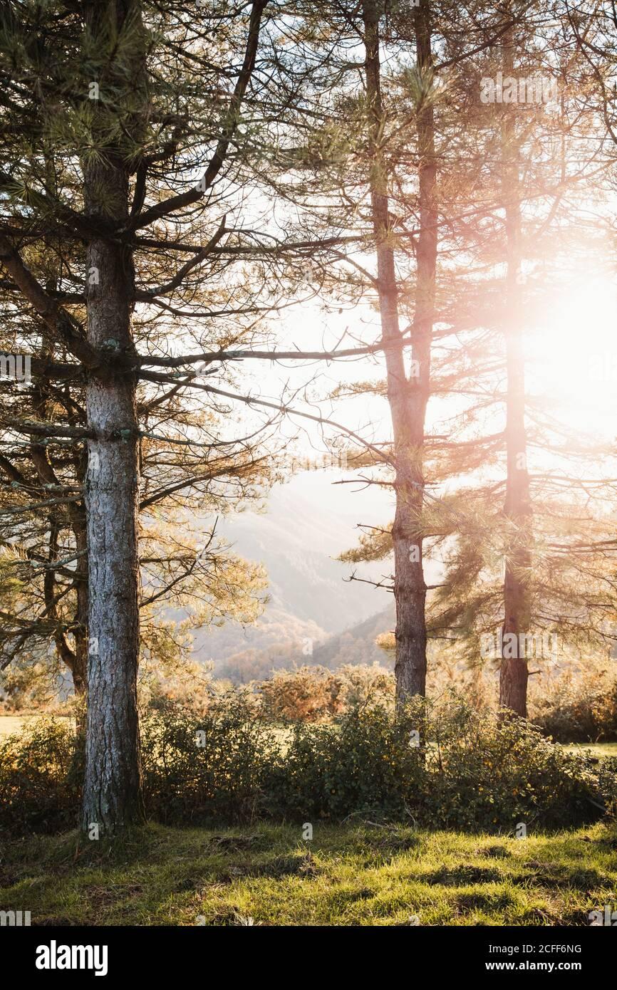 Sol brillando a través de ramas de pinos y verde claro pradera en el bosque de otoño en las tierras altas Foto de stock