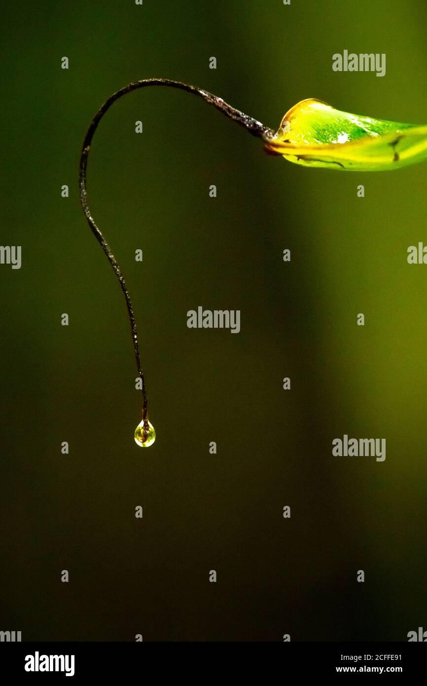 Fotografía de Bellas Artes - Arte acuático gota de agua en la hoja verde. Lluvia gota de agua en el borde de la hoja del árbol. Foto de stock