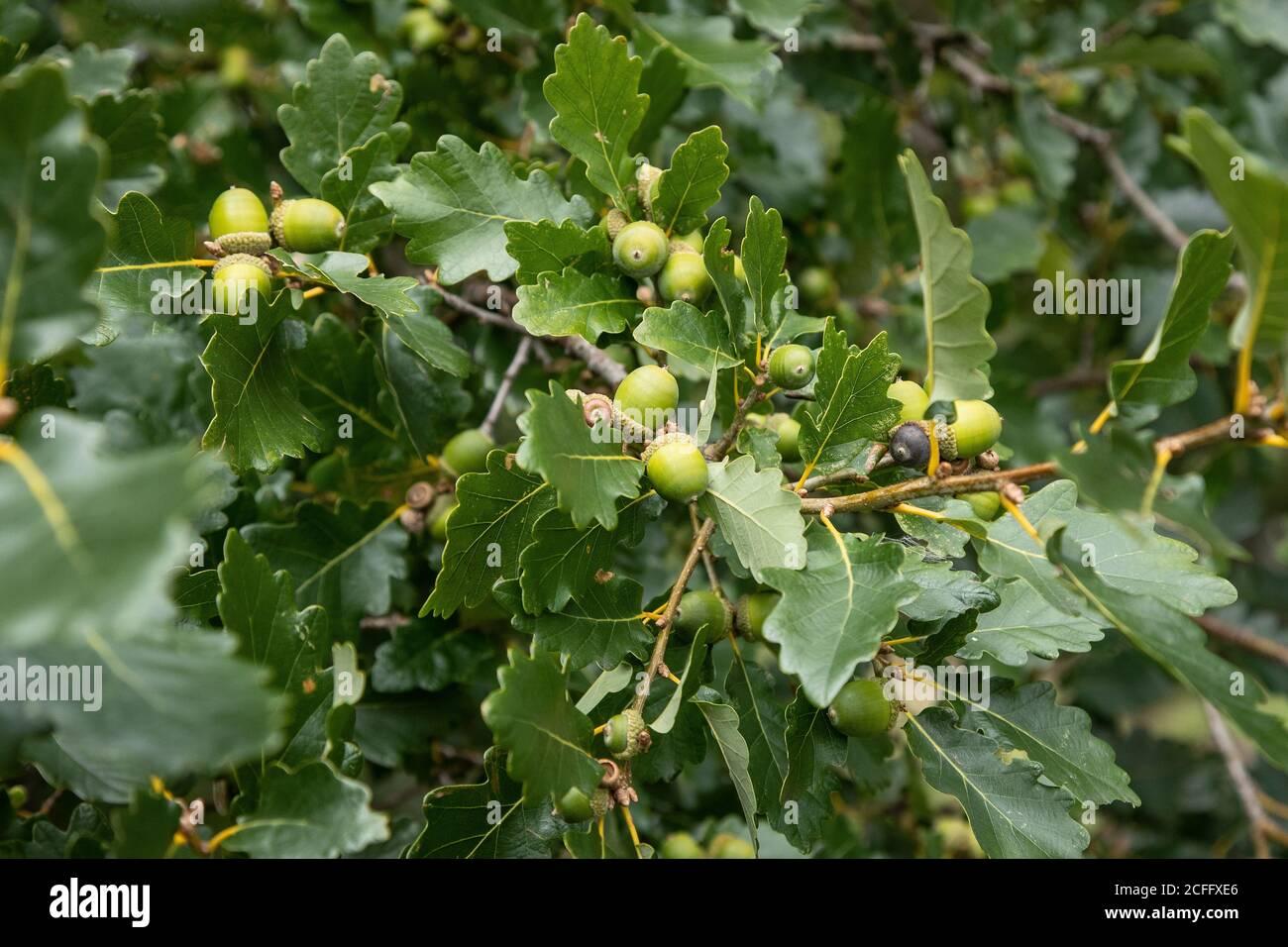 Jóvenes bellotas desarrollando un roble Inglés Quercus robur en El comienzo del otoño Foto de stock
