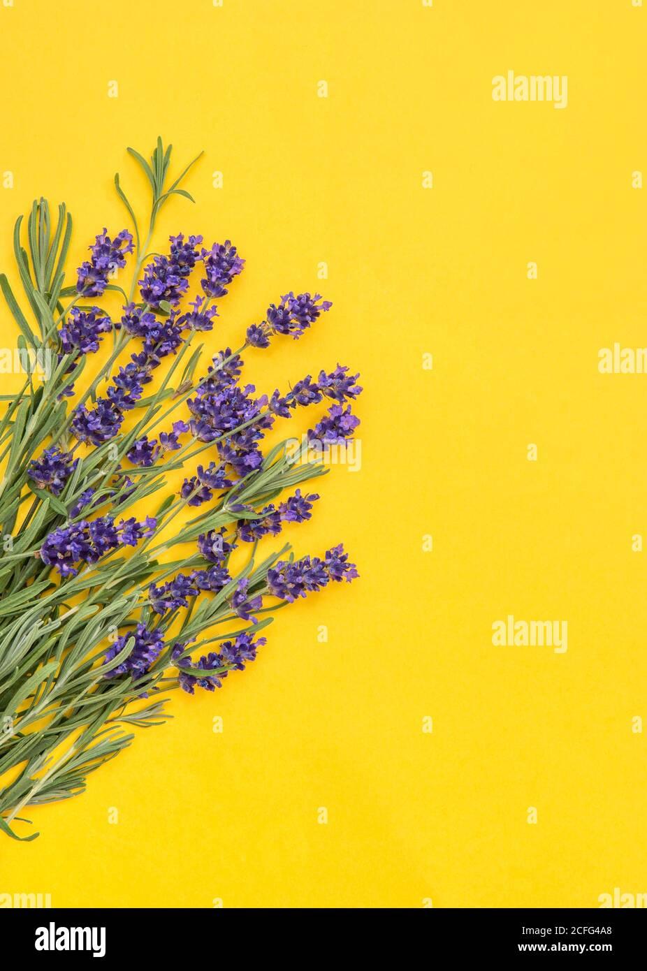 Flores de lavanda sobre fondo amarillo. Borde botánico floral Foto de stock