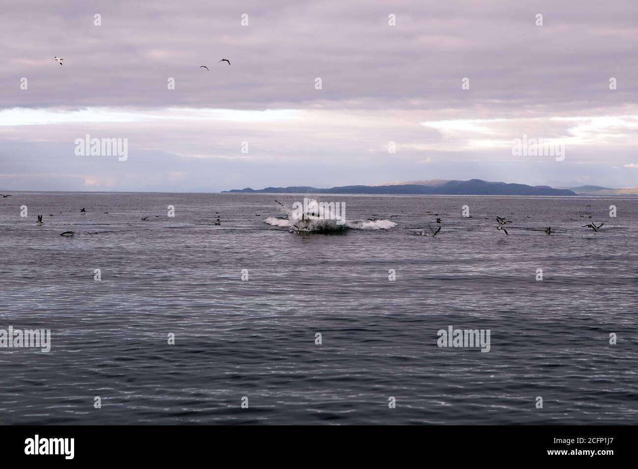Minke Whale dispersando Manx Shearwaters mientras surfear y alimentarse El Océano Atlántico frente a la Isla de Coll in Las Hébridas internas de Escocia Foto de stock