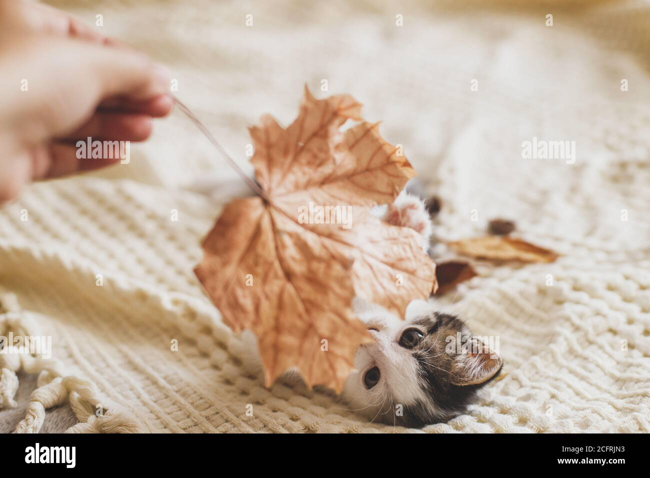 Adorable gatito jugando con hojas de otoño sobre una manta suave. Mano sosteniendo la hoja de otoño y jugando con cute gatito blanco y gris en la cama en la habitación. Otoño c Foto de stock