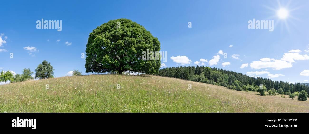 gran árbol de tilo en el sol en la colina de un prado montañoso en verano Foto de stock