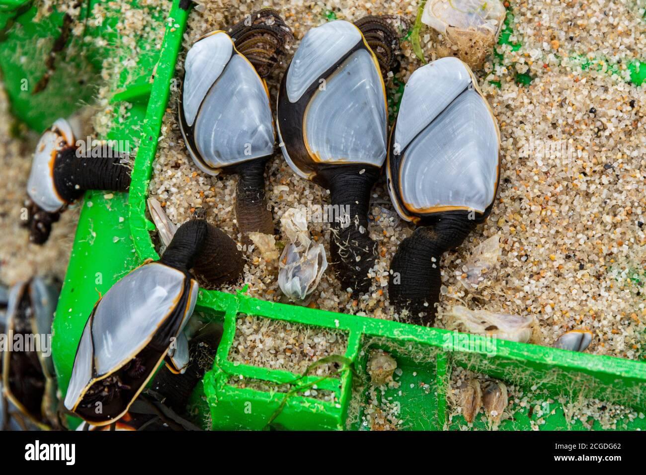 Percebes comunes de ganso (Lepas anatifera) Foto de stock