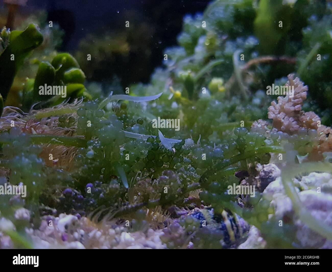 Caulerpa racemosa en el sistema de refugio para el acuario de arrecifes de coral de agua salada tanque Foto de stock