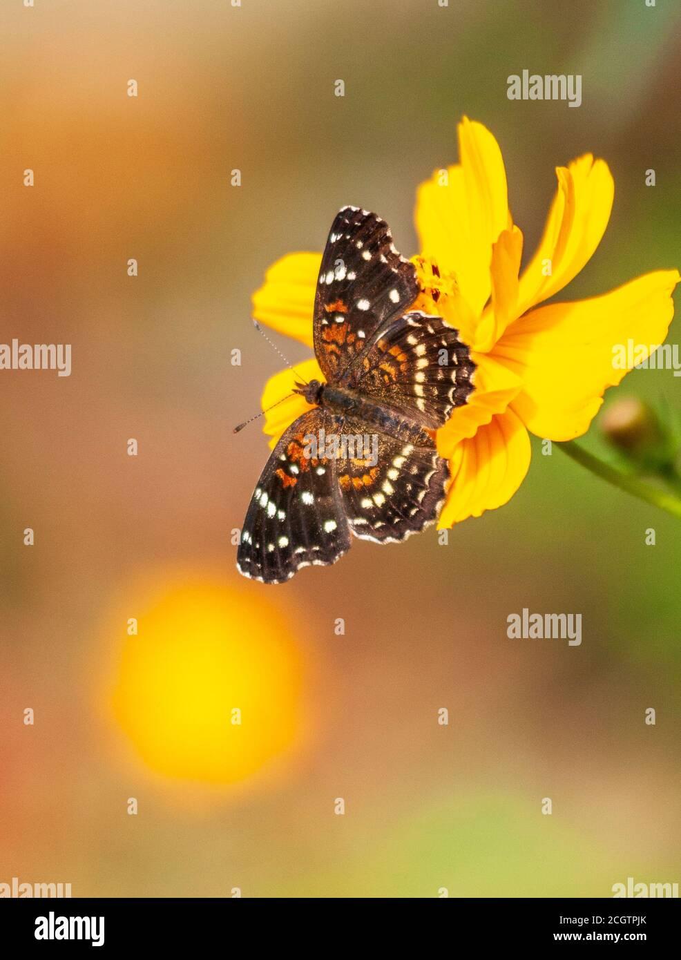 Texas Crescent Butterfly, Phyciodes texana, en Mercer Arboretum y Botanical Gardens en Spring, Texas. Foto de stock