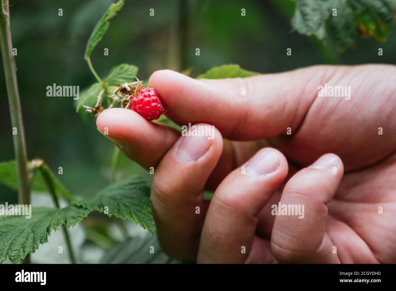Foto de stock de una mano recogiendo frambuesas silvestres en el jardín Foto de stock