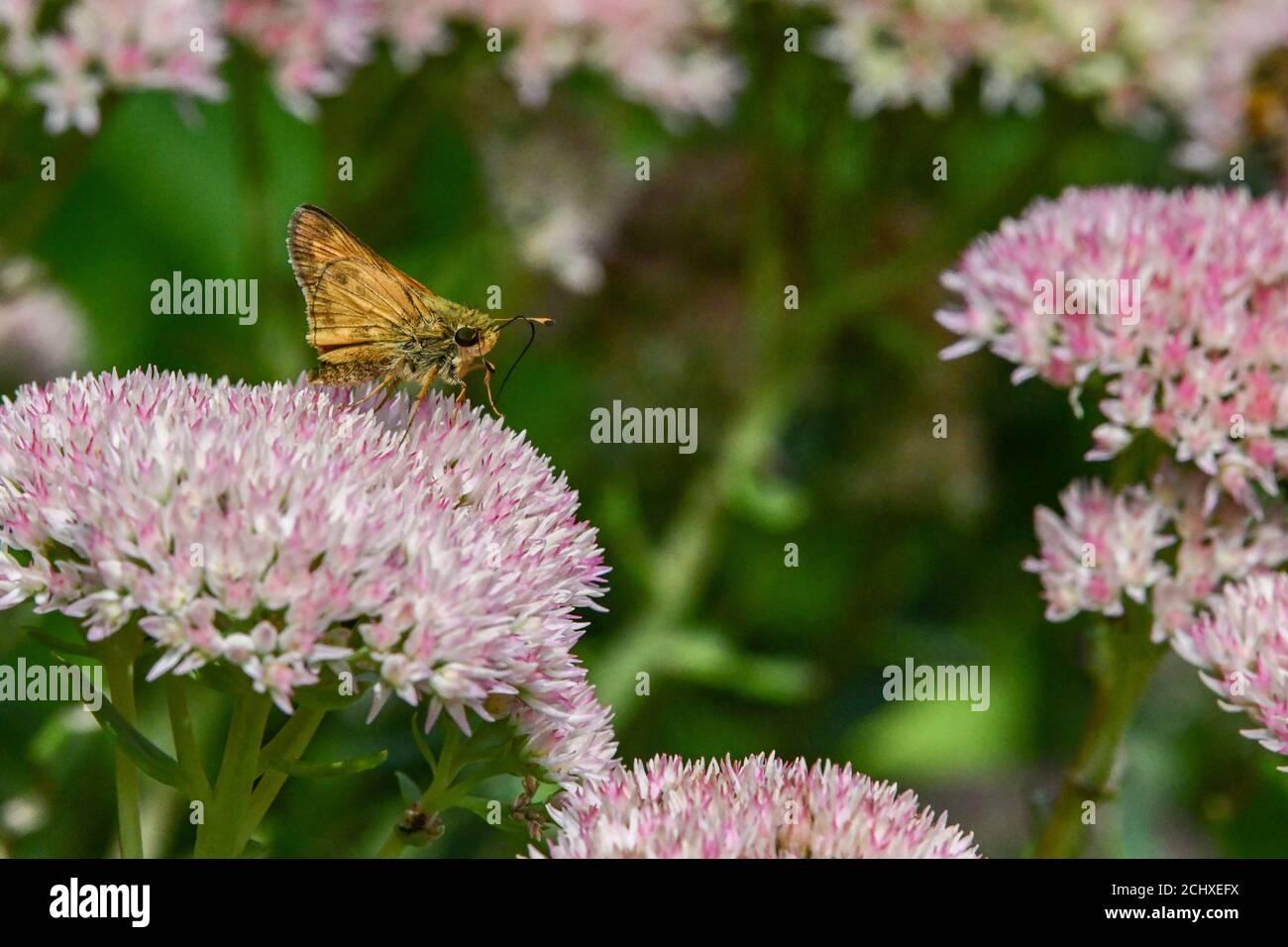 Mariposa de patrón - Hesperiidae - en otoño Joy sedum - Hylotelephium - mariposas diurnas sobre crassulacceae - Papilionoidea Foto de stock