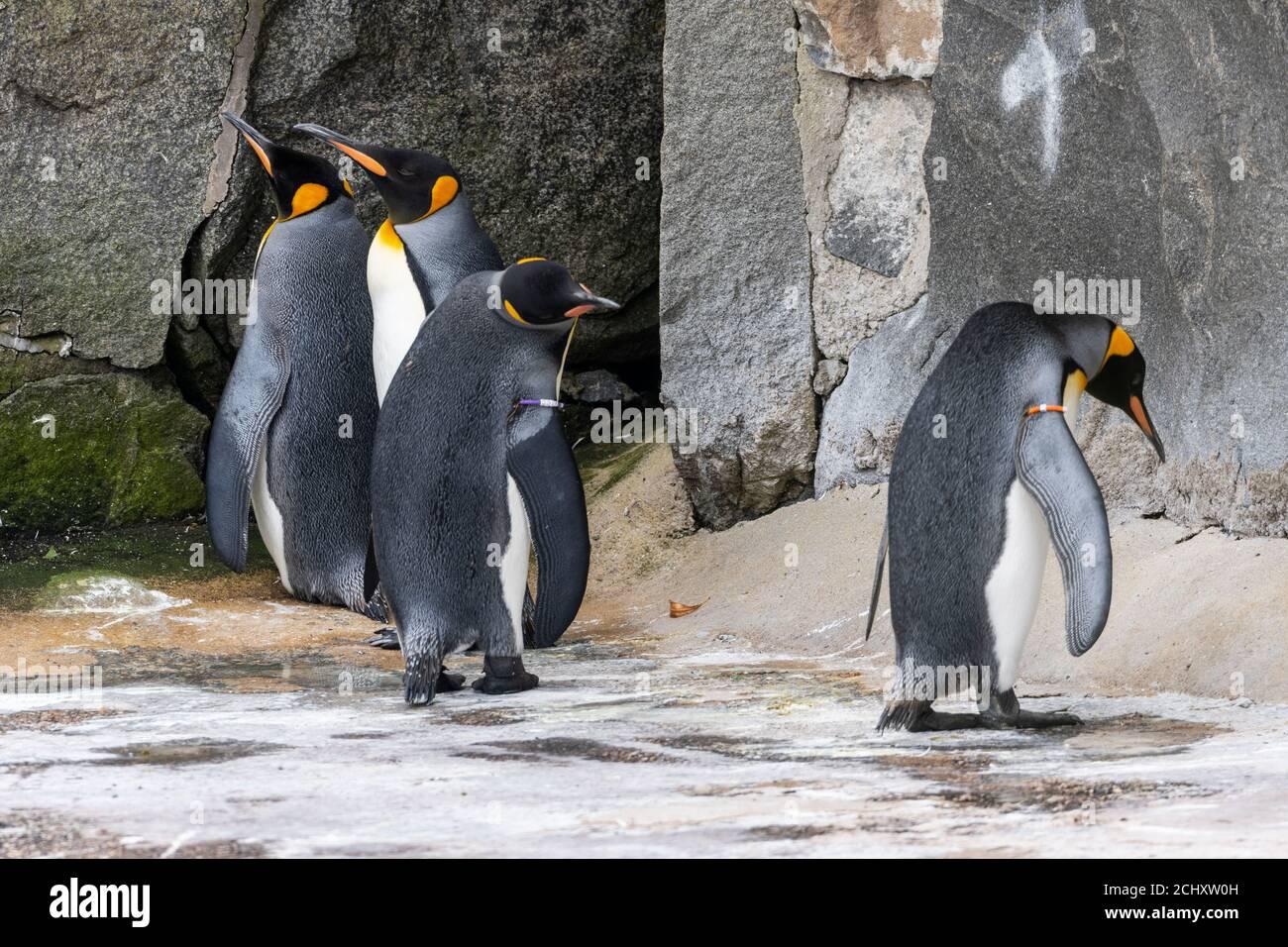 Grupo de licenciatura de pingüinos rey (Aptenodytes patagonicus) en gabinete de pingüinos en el Zoo de Edimburgo, Escocia, Reino Unido Foto de stock