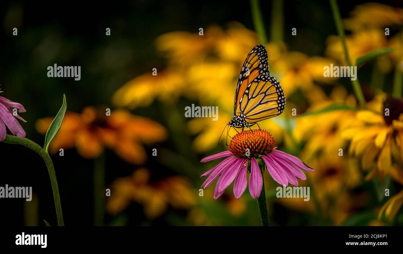 Mariposa monarca en una flor de la conefora púrpura Echinacea Foto de stock