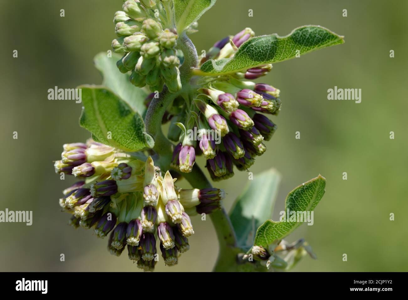 Verde-flor Milkweed, Foto de stock