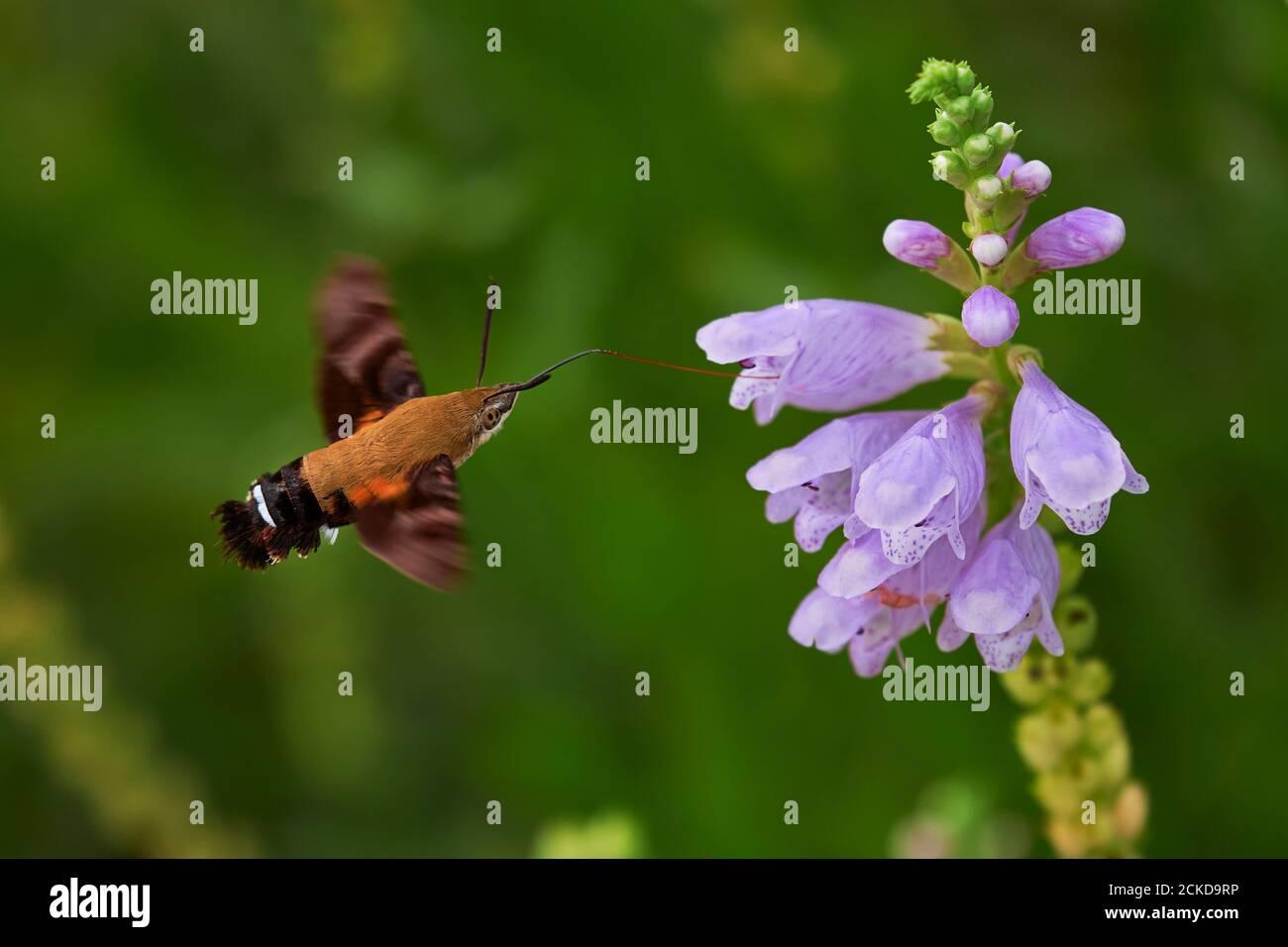Macroglossum stellatarum comer de una purpurea digitalis mientras vuela Foto de stock