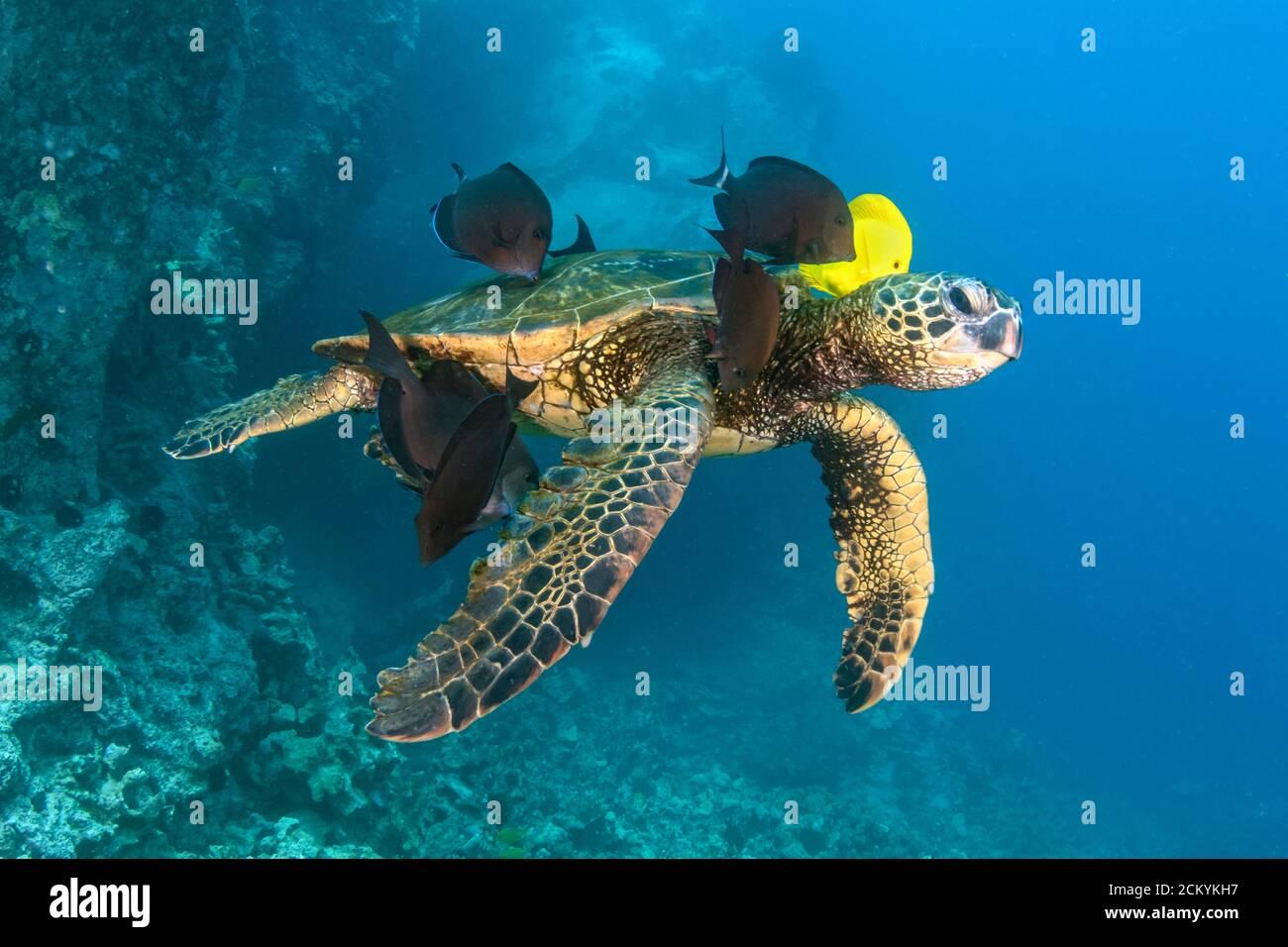 Tortuga de Mar Verde, Chelonia mydas, siendo limpiada por tang amarillo, Zebrasoma flavescens, y pez surgeonero azul, Acanthurus nigroris, Kona Coast, Big I Foto de stock