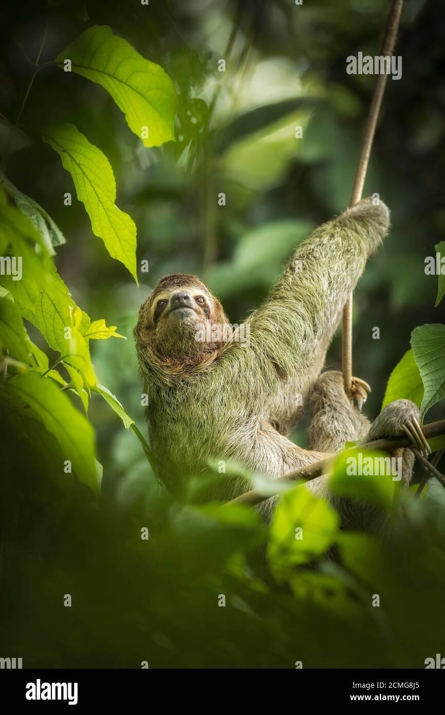 Perezoso de tres dedos de garganta marrón (Bradypus variegatus) en hábitat de selva tropical, Parque Nacional Manuel Antonio, Costa Rica Foto de stock