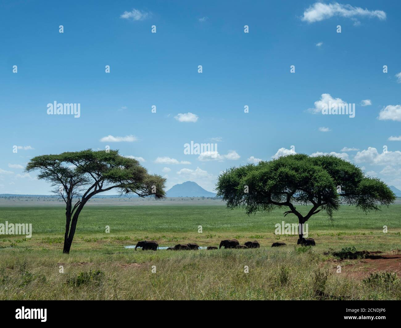 Una manada de elefantes de monte africanos (Loxodonta africana), Parque Nacional Tarangire, Tanzania, África Oriental, África Foto de stock