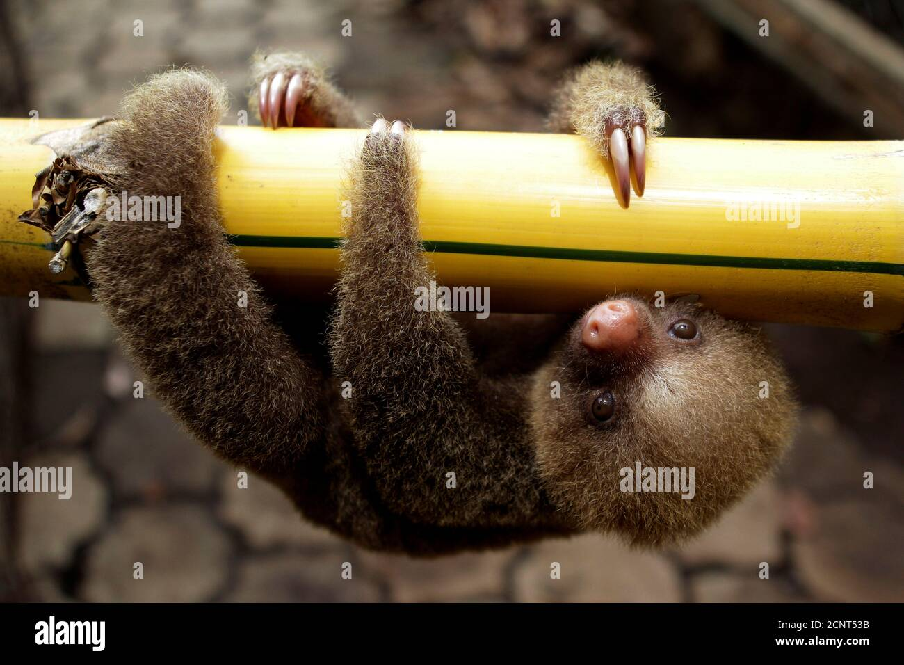 A Linnaeus two-toed sloth (Choloepus didactylus) is seen at a zoological park in Managua June 27, 2011. Nicaragua is hosting the first regional workshop of the Convention on International Trade in Endangered Species of Wild Fauna and Flora. REUTERS/Oswaldo Rivas (NICARAGUA - Tags: ANIMALS ENVIRONMENT SOCIETY IMAGES OF THE DAY) Foto de stock