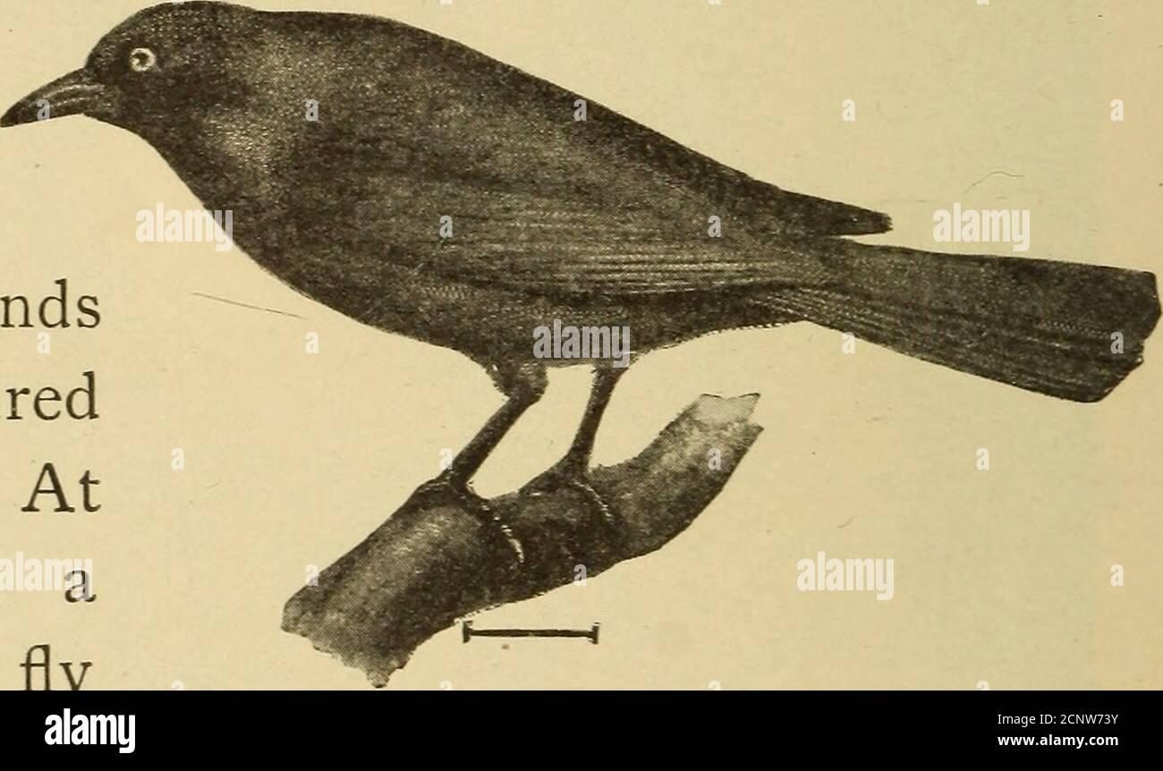 . Media hora con peces, reptiles y aves. Fig. 212. —Oriole de Baltimore. Bueyes oriole, tan famoso por sus nidos colgantes (Fig. 2 Il). La Oriole de Baltimore (Fig. 212) tiene un traje de naranja-rojo, su cabeza negro, también la parte superior de la espalda y alas. El tailis naranja y negro.su nota es melodi-ous y como llamativa asits apariencia general.los blackbirds (Fig.213) son criaturas interesantes. Algunos anidan jardín en orangulos, en mayo. El pájaro negro de alas rojas es la forma común en los grandes pantanos a lo largo del Pacífico. Estos birdsroost en los pantanos de tul, y los he visto arriesgarlos al amanecer, un m Foto de stock