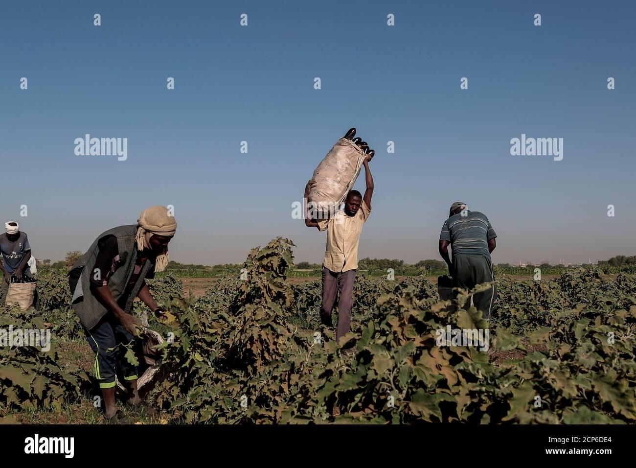 """Mussa Adam Bakr (R), de 48 años, que explota una parcela junto a una fábrica de ladrillos de barro, recoge berenjenas con sus trabajadores en su campo en la isla Tuti, Jartum, Sudán, 14 de febrero de 2020. """"Vine a Tuti en 1988 porque la tierra aquí es la mejor para la agricultura y lo suficientemente cerca para abastecer a los mercados, y hace que los ingresos sean buenos"""", dijo Bakr. 'A lo largo del año, la tierra de los Tuti produce todo tipo de verduras como patatas, cebollas y berenjenas.' REUTERS/Zohra Bensemra BUSCA 'BENSEMRA NILE' PARA ESTA HISTORIA. BUSQUE """"IMAGEN MÁS AMPLIA"""" PARA TODAS LAS HISTORIAS. Foto de stock"""