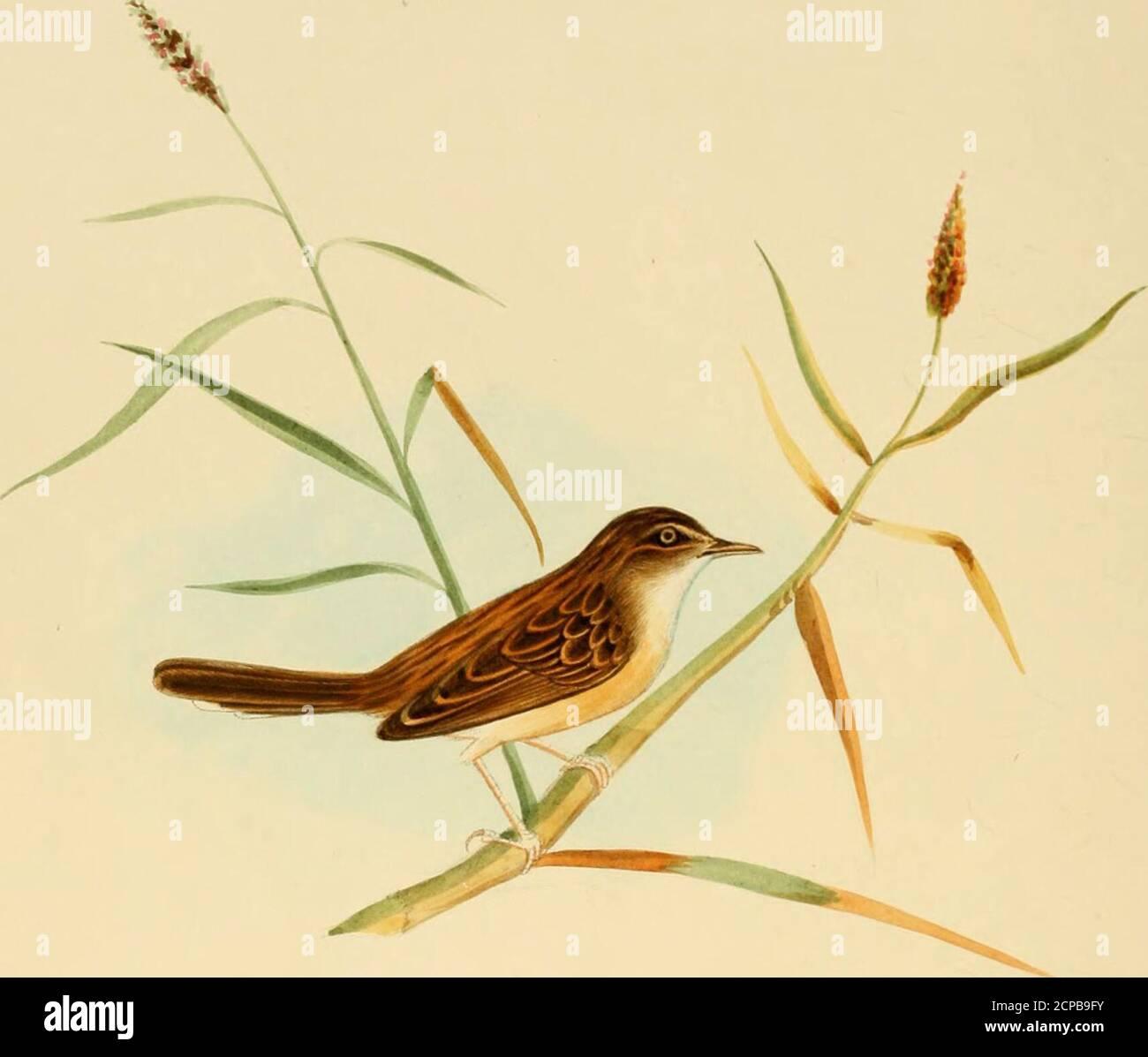 . Ilustraciones de ornitología India: Contiene cincuenta figuras de especies nuevas, no figuradas e interesantes de aves, principalmente del sur de la India. Parece pertenecer a Swainsons subgenusHemilophus. Parece parecerse muy de cerca al Picus lencogaster de Temminck, que Horsfield identifica con su P. Jacensis, siace llamado P. horsfieldii por Wagler. Sin embargo, en las descripciones de estas especies no encuentro ninguna mención de las visiblemente F Ilustraciones de Omithologtj indio ; espalda blanca. Sin embargo, el Sr. Blyth parece pensar que mi pájaro puede ser idéntico a lenco-gaster, como lo ha hecho Foto de stock