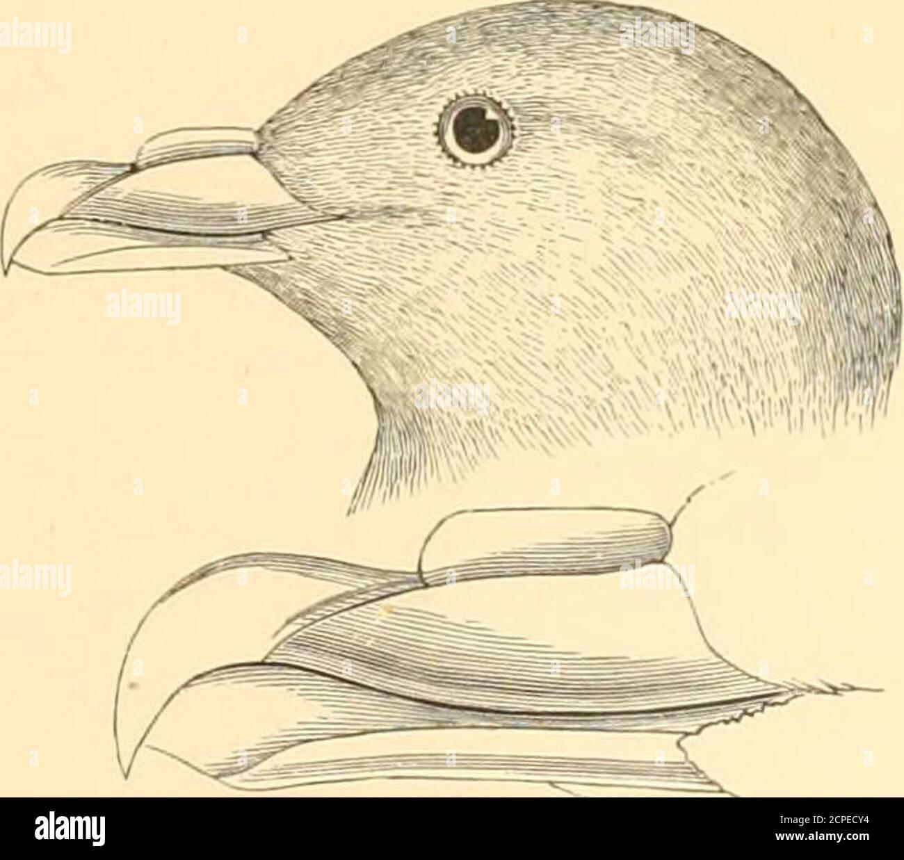 . Las aves acuáticas de América del Norte . F. glacialis : fase de luz. F. glacialis Rodgersi. Son de un apreciablemente, y en una mayoría decididamente, más azulado o gris nacarado que los del Pacífico Norte, y tienen, sin excepción, un espacio oscuro inmediatamente delante del ojo.no uno de los tres especímenes adultos muestra ningún blanco en las alas. En todos los especímenes del Pacífico Norte el gris es mucho más oscuro, de un tono más ahumado; algunos no tienen rastro de oscuro en el ojo, mientras que otros tienen una mayor o menos cantidad de blanco en el ala; el tipo de 368 LOS NADADORES DE PUNTA TUBULAR — TUBINARES. F. R Foto de stock