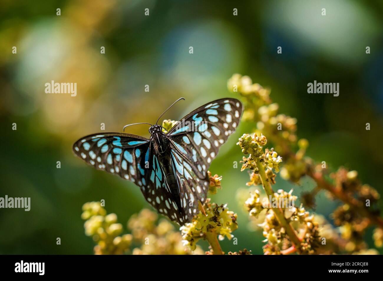 Una mariposa azul tigre chupar néctar de una flor Foto de stock