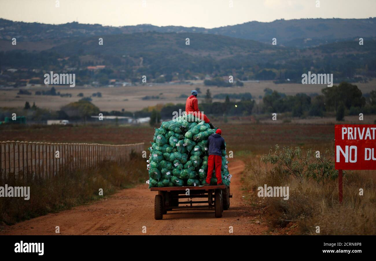 Los trabajadores agrícolas cosechan coles en una granja en Eikenhof, cerca de Johannesburgo, Sudáfrica, 21 de mayo de 2018. REUTERS/Siphiwe Sibeko Foto de stock