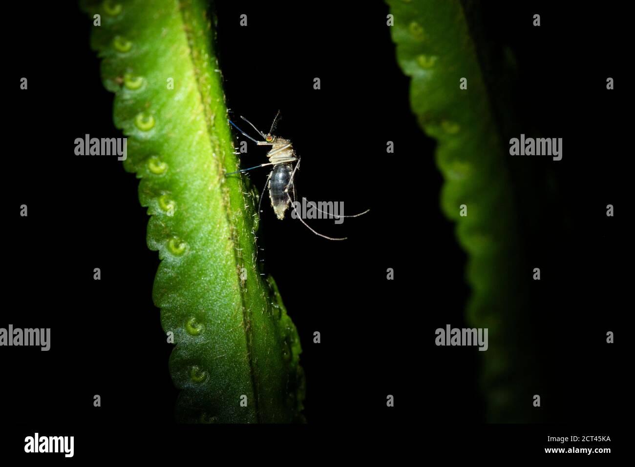Gran Mosquito, Boca tapada, Provincia de Alajuela, Costa Rica Foto de stock