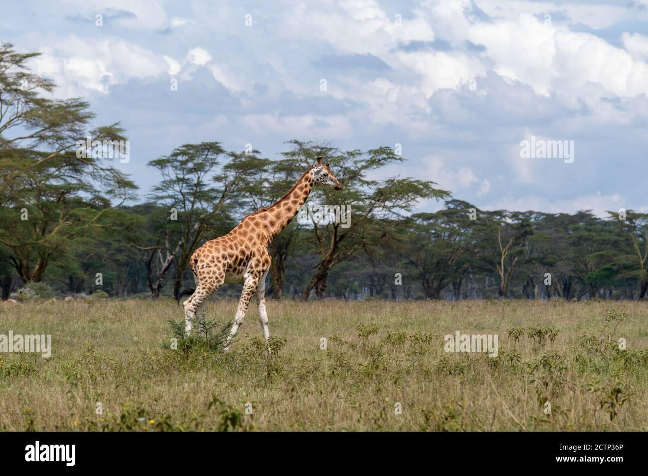 Jirafas reticuladas (Giraffa camelopardalis reticulata) Foto de stock