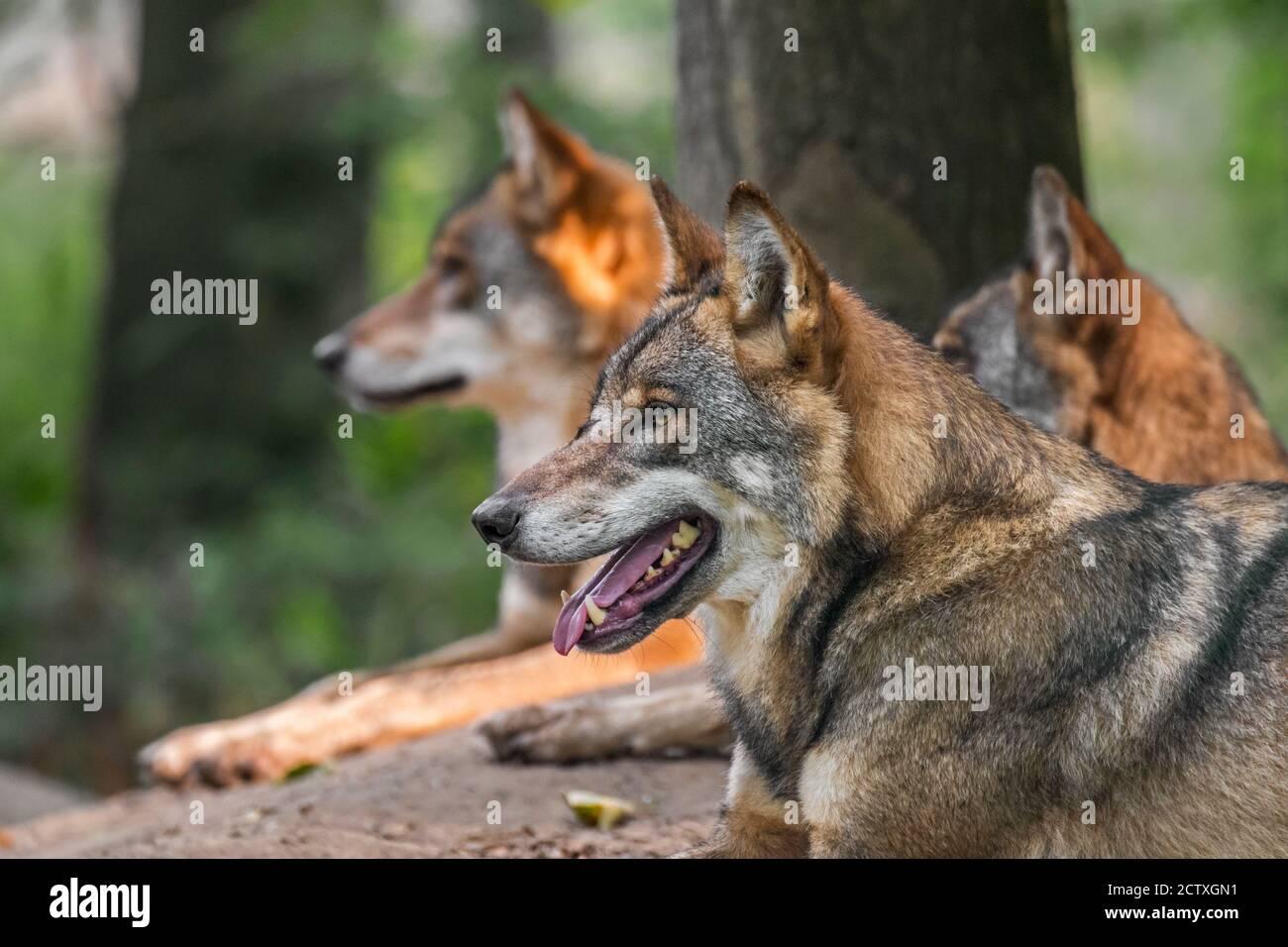 Tres lobos grises europeos / lobo gris salvaje (Canis lupus) pack descansando frente al den en el bosque Foto de stock
